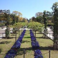 山下公園のしだれ桜2020/3/25