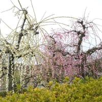 河津桜、満開の頃 紅白の枝垂れ梅      2021.03.07.(2)