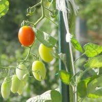 八月の猫ビタイ園芸・・・ミニトマトもいよいよオシマイです