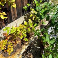 鉢植えから地植えへ!しっかり根を伸ばして!