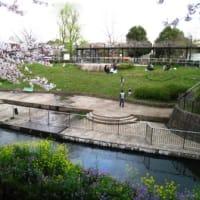 さくら満開の祖師谷公園