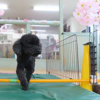 幼稚園体験にきてくれたポメラニアンの【ニコくん】 犬のしつけ教室@アロハドギー