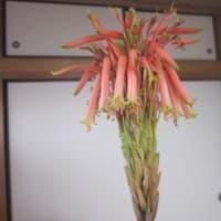 アロエの花の開花も・・・