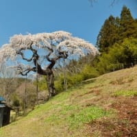 外大野のしだれ桜(2020年)