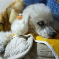 寒くなってきて…フリースと老犬ラスさんの季節 ☆ヽ(▽⌒*)♪