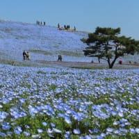 ひたち海浜公園 ネモフィラ 休園前(4月3日) 約6分咲きでした。
