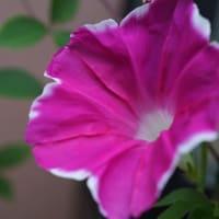 ●我が家の8月の花(10) 朝顔
