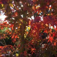 庭の樹々の色づき =12月の休診日追加のお知らせ=