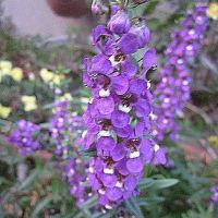エンジェルラベンダーという花