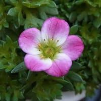 季節の花「雲間草(くもがぐさ)」