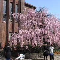 日本の桜、その4