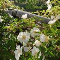 バラの香り&5月の風