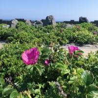 啄木の海と、ハマナスの花