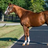 米年度代表馬(2014年&2016年)【カリフォルニアクローム(California Chrome)】の日本導入が発表!