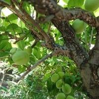 梅の収穫 と 枝切り