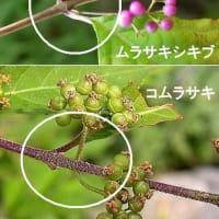 ●我が家の9月の花(8) 鉢植えのコスモス ムラサキシキブ(紫式部?)コムラサキ?