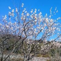 満開の白梅と湖南アルプス・堂山/昨日の散歩にて