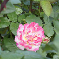 ピンクの花 by 8na8na-club