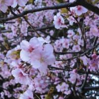 河津桜と梅が見頃 (2021/02/27)