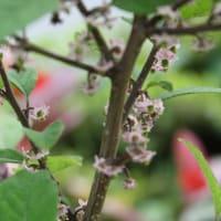 「おはようの花」 ウメモドキ(梅擬) 6月
