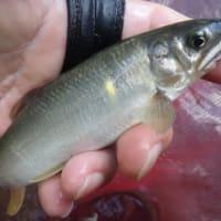 10月06日 亀尾島川で終盤の鮎釣り!