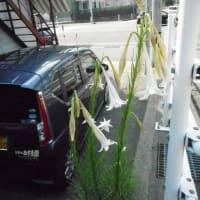 コンクリートの隙間から・・・ド根性ユリ・・・今年も花を咲かせました!・・今年は18輪も花を付けました。