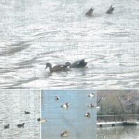 都内で越冬する野生鴨 オカヨシガモの現況