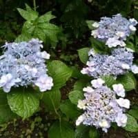 新入り紫陽花