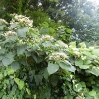 クサギ 樹木の花