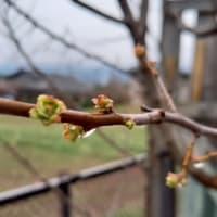 花梨の新芽の芽吹きが始まっています