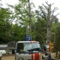 喜多院の枝を伐られた大木はどうなる?