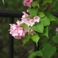 今年もスイカズラが咲き始めました!