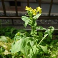 正月菜の花