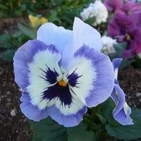 季節の花「パンジー」