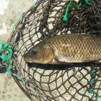 県北の鯉の釣堀にいってきました。