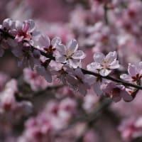 満開の桃の花・・・
