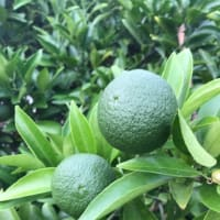 我が家の柑橘類