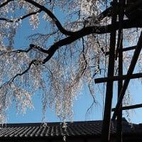 桜、さくら(2)