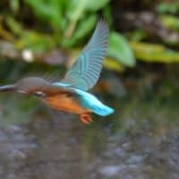 カワセミ飛翔、餌獲り