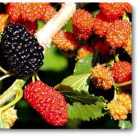糖尿病 桑の葉の効能