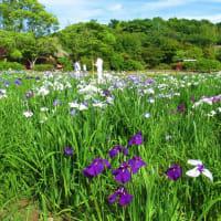 〈催事〉0571:江戸菖蒲八分咲き
