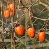 柿の実をメジロはヒヨドリに奪われて