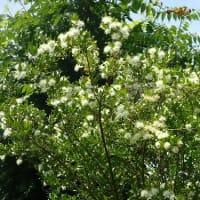 男性の育休 職場の意識を変えたい/まっ白なギンバイカ(マートル)の花が咲きました。