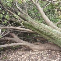 まさかこの木が倒れるとは!