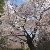 樹齢100年、自宅マンションの桜🌸の木が伐採されることに、、、(涙)