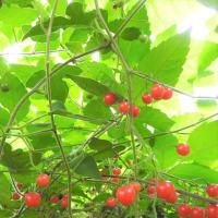 ハコベホオズキ    風が遊ぶ陽だまり     東京都江東区都立の森