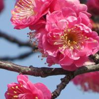 春への歩み 梅が開花 宮代町の散歩道