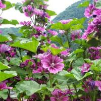【ハーブ】花、花