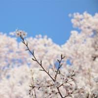 岡山県庁で桜が満開