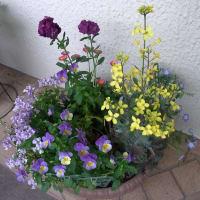 5/12 Myガーデンの花:薄桃色のペラルゴニウムと多肉植物 秋麗